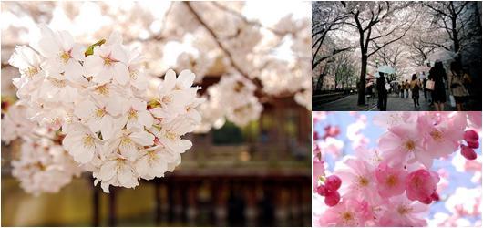 bunga cherry blossom Korea