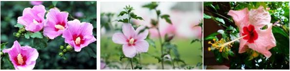 bunga munghuwa